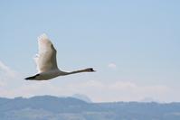 shwan