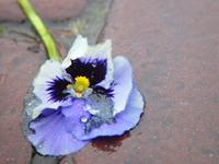 Tramblet flower