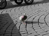 urban pidgeon