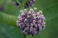 Bug on a milkweed bloom