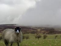 Sheep on Moors