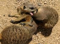 Meerkats playing