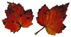 Leaf 15