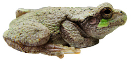 Frog Isolation 1