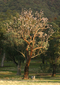 Galahs in a tree