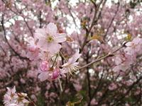 Sakura (cherry-tree) 1