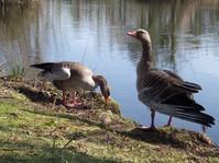 Grey lag geese