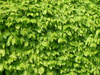 beech hedge