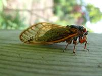 17 Yr Cicada 2