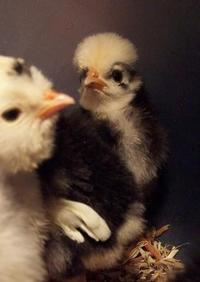 Crested Chick napoleon