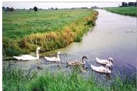 Dutch Swans
