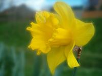 Macro Daffodil