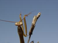 praying mantis 8