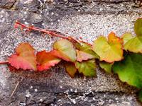 Cameleon Leaves