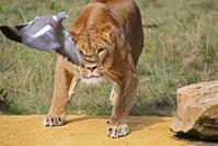 Lion Hunting Pigeon
