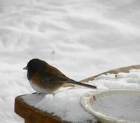bird in snow 1