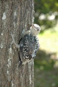 Woodpecker baby 1