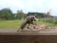 old hornet