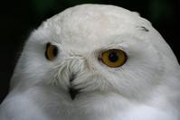 Snow owl 2