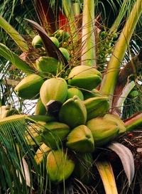 Cuban palm trees