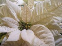 White Poinsettia - Second Shoo