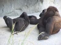 gorillas 16