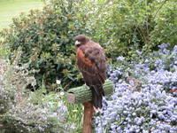 guard hawk