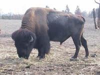 buffalo in the zoo 4