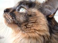 Tortoiseshell Long Hair Cat