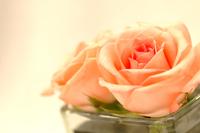 peach rose 3
