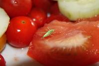 Grasshopper on tomato