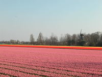 Pink hyacinths field