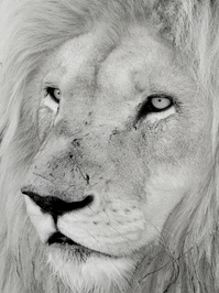 White Lion Close-ups 4