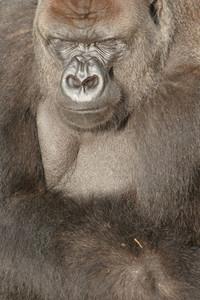 Gorilla Wildlife 2