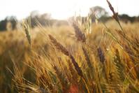 Kansas wheat 2