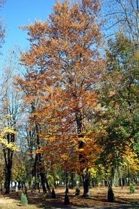Tree in Cetinje park