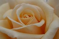 Cream Rose Petals
