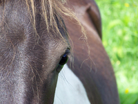 horse close up 1