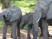 African Elephants 5