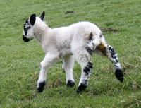 Spring Lambs 1