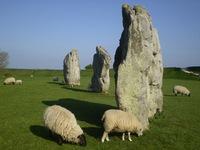 Avebury Sheep