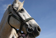 Aruba Horse