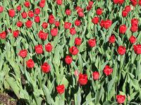 Araluen Park tulips 3