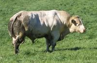 giant bull