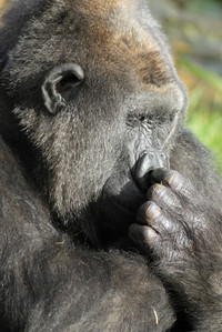 Gorilla Wildlife 1