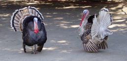 Turkey Dance