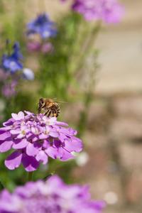 Bee on Iberis Flower