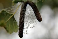 Birch's seed