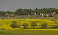 Rapeeseed field in spring