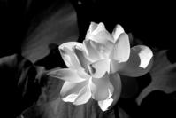 Lotus Blossoms 5